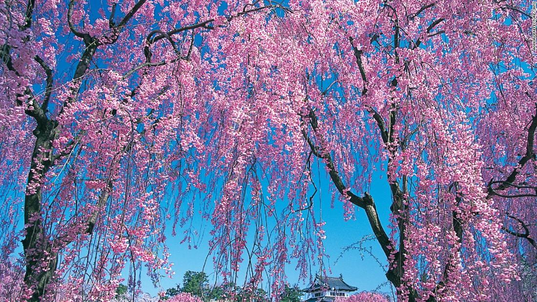 Hoa anh đào ở tỉnh Aomori đẹp như một bức tranh khi hoa nở vào mùa xuân