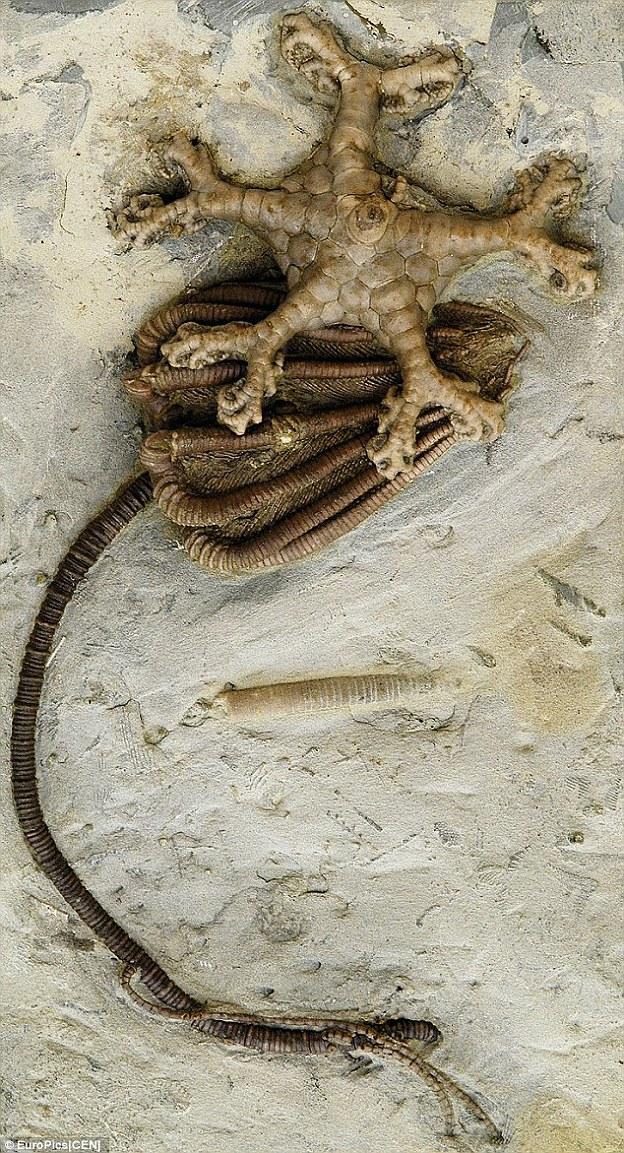Hóa thạch cổ đại trông giống một loài Huệ Biển đã mất tích từ rất lâu
