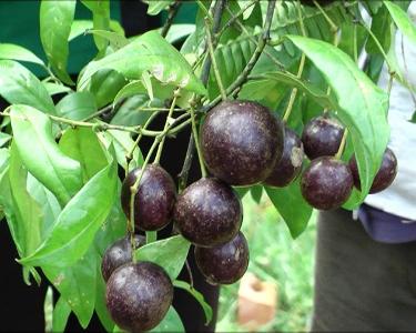 Nguyên nhân khiến 5 trẻ bị ngộ độc là do ăn phải quả hồng trâu, một loại quả rừng có độc tính cao