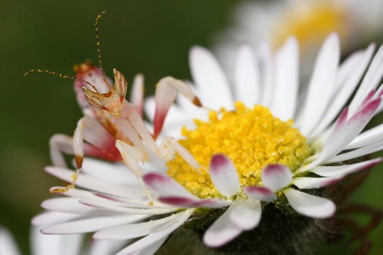 Do sự độc đáo của mình, bọ ngựa phong lan rất được các nhà sưu tầm côn trùng ưa chuộng. Nhưng không phải ai cũng có cơ hội sở hữu loài bọ ngựa này do chúng rất hiếm và giá rất cao.