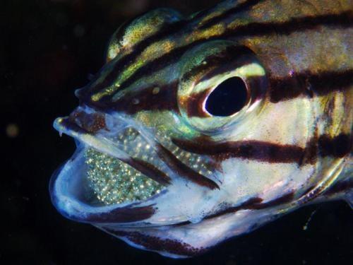 Cá ấp trứng trong miệng hiện tượng lạ ở giới động vật