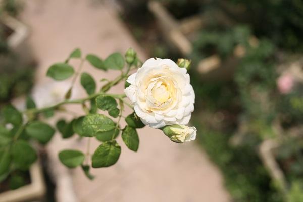 Lão nông gần 60 tuổi, sở hữu vườn hồng 2 vạn gốc tại Hà Nội