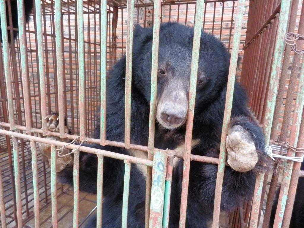 Hình ảnh gấu bị nuôi nhốt ở Quảng Ninh