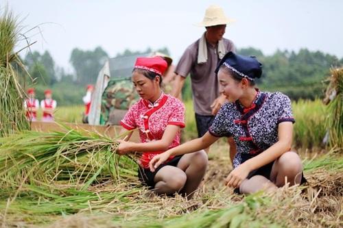 Mảnh ruộng được thu hoạch này trước đây những nữ sinh hàng không Thành Đô đã tự mình cấy và trải qua hơn 3 tháng vun trồng.