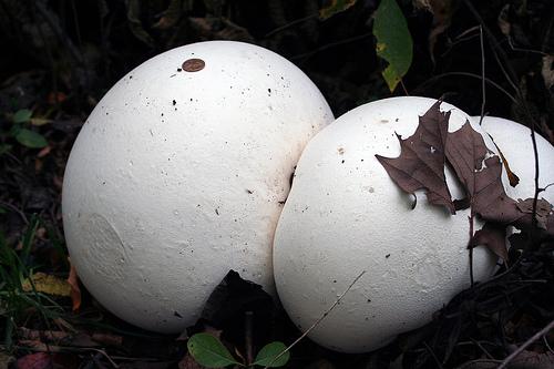 Nấm trứng Calvatia gigantea kích thước bằng một quả bóng đá, nấm trứng đạt kỷ lục về loại nấm khổng lồ nhất trong tự nhiên. Nhiều cá thể còn đạt kích thước tới 1,5 mét nặng 23 kg.