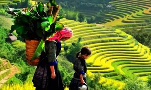 Những thửa ruộng bậc thang vào mùa lúa chín được ví như những nấc thang vàng uốn lượn trên những sườn núi cao vời vợi, ngút ngàn. Có nơi nương lúa như những mâm xôi vàng óng ả. Ảnh Công An Thành Phố Hồ Chí Minh