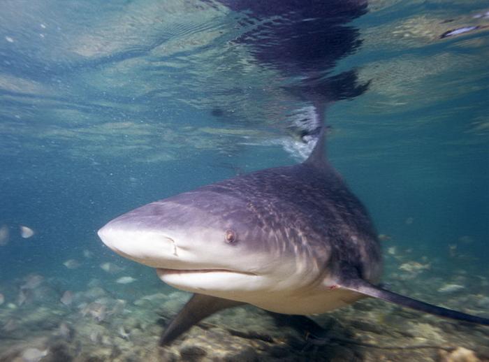 Cá mập bò là loài cá mập nguy hiểm nhất
