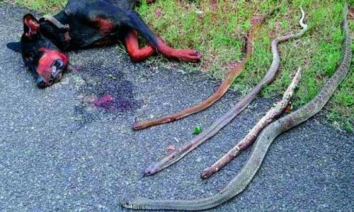 Xác con chó bên cạnh 4 con rắn hổ mang núi cực độc bị cắn chết. Ảnh: Twitter