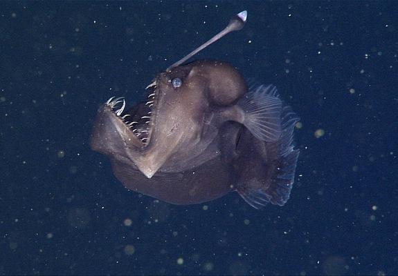 Tin khoa học mới về loài cá vây chân