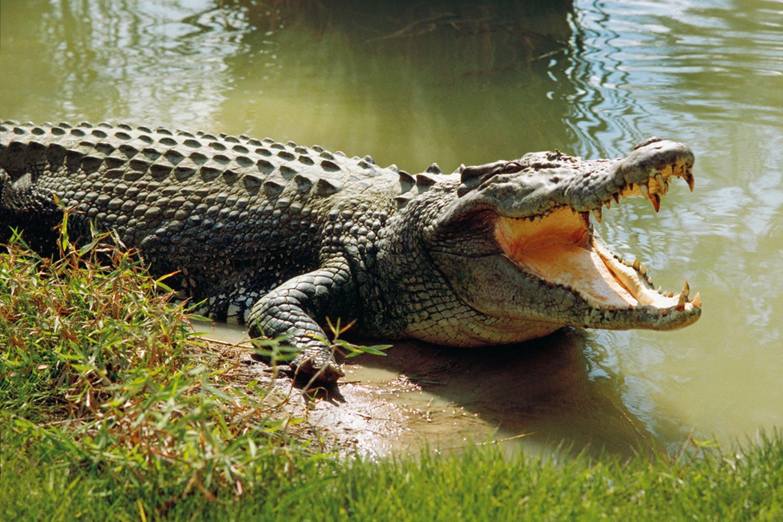 Trước đó công an huyện đã đề xuất phương án dùng súng bắt cá sấu nhưng không được phép