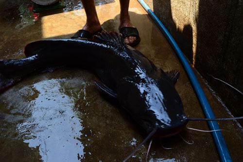 Dù cá lăng đuôi đỏ là đặc sản của sông Serepok nhưng câu được cá khủng vẫn là chuyện rất hiếm