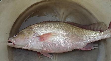 Con cá anh Trung bắt được có vẻ ngoài rất giống cá sủ vàng