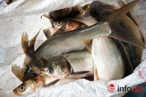 Cá chủ yếu là loại cá mè, khoảng trên dưới 1kg/con, do chưa ra đến sông nên cá vẫn còn sạch.