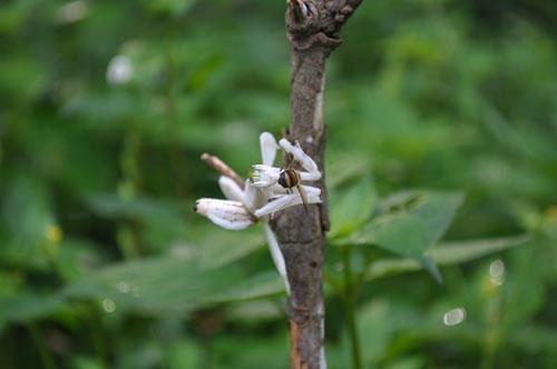 Các loài côn trùng thường bị thu hút bởi khả năng ngụy trang tài tình của loài này gồm ong, bướm, sâu và một số loài côn trùng thụ phấn cho hoa khác. Thức ăn yêu thích của bọ ngựa là loài bướm