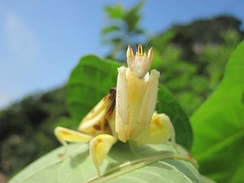Một loài hoa khát máu khác mang tên bọ ngựa phong lan không chỉ giống hoa, mà thậm chí còn có vẻ đẹp quyến rũ hơn một số loài hoa thật