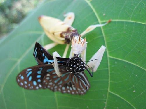 bọ ngựa phong lan không chỉ có thể thu hút các loài côn trùng thụ phấn, mà chúng còn thực hiện kỹ năng thu hút này rất thành thạo. Một con bướm hoa đang bị bọ ngựa phong lan tấn công sau khi nhầm tưởng con bọ ngựa là một bông hoa