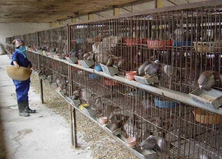 Kỹ thuật nuôi chim bồ câu Pháp 'mắn' con, thịt thơm