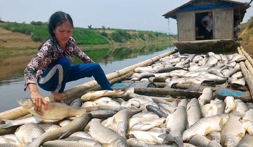 Gần 3 tấn cá chết hàng loạt chỉ trong một đêm khiến nhà bà Báu lâm vào cảnh tay trắng