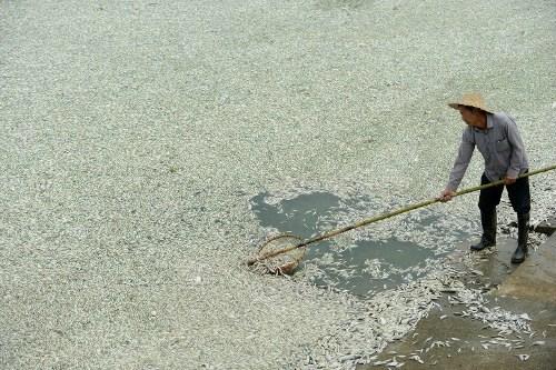 Khoảng 100 tấn cá  ở Trung Quốc đã bị chết do nhiễm độc chất amoniac từ một nhà máy