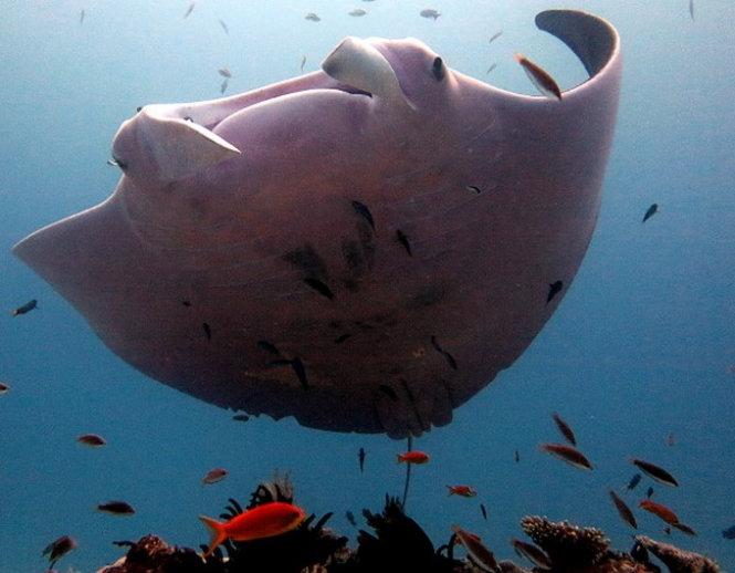 Cá đuối màu hồng kỳ lạ tại vùng biển Úc