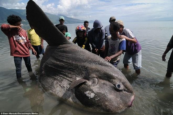 Con cá Mặt Trăng trên nặng 1,5 tấn và dài 1,8m