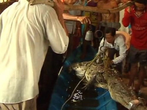 Con cá sấu bắt được trong vuông tôm của ông Dự ở xã Hưng Mỹ, huyện Cái Nước, tỉnh Cà Mau
