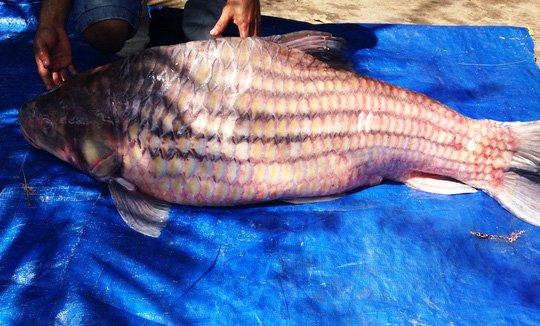 Hình ảnh con cá trà sóc khổng lồ có trọng lượng 60kg được thương lái bán tại TPHCM