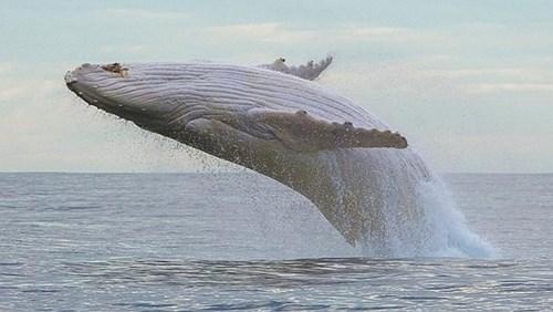 Migaloo là chú cá voi lưng gù trắng siêu hiếm