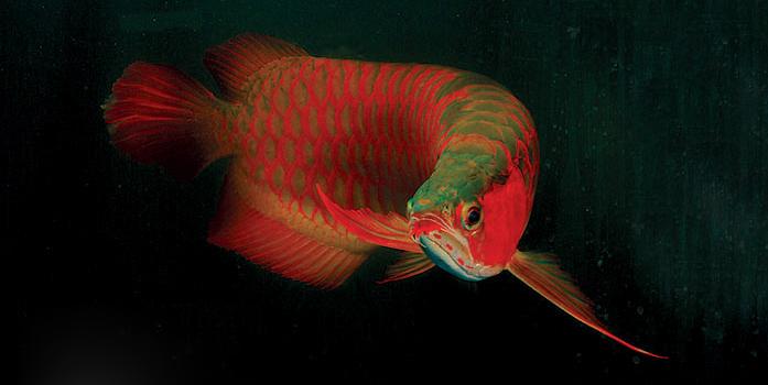 Cá rồng biểu tượng của thịnh vượng cũng được xếp vào các mặt hàng Tết được đại gia ưa chuộng