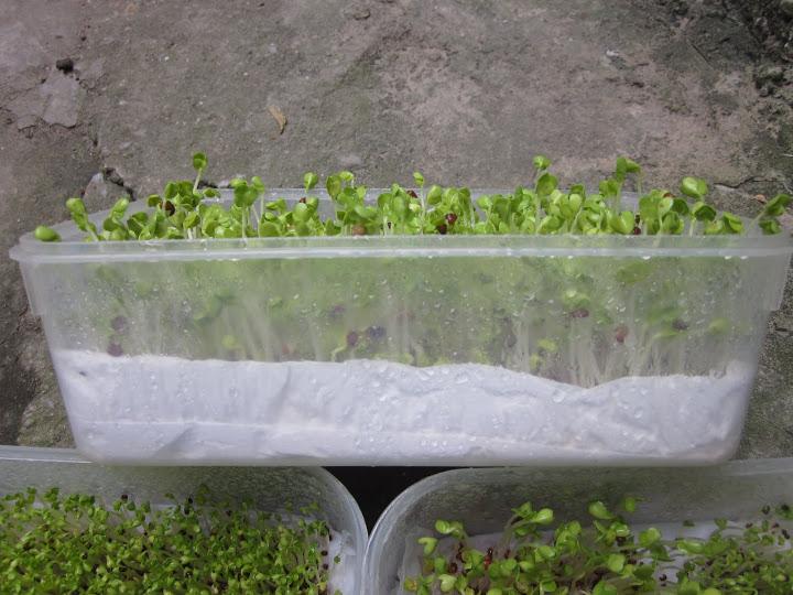Kỹ thuật trồng rau mầm bằng giấy ăn đơn giản, nhanh chóng cho thu hoạch