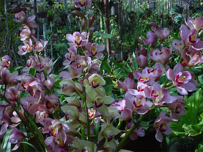 Cách chọn và chăm sóc địa lan sớm ra hoa