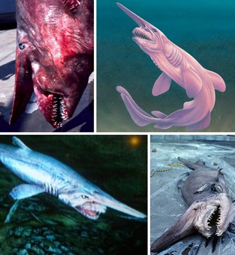 Cá mập yêu tinh có hàm răng đáng sợ