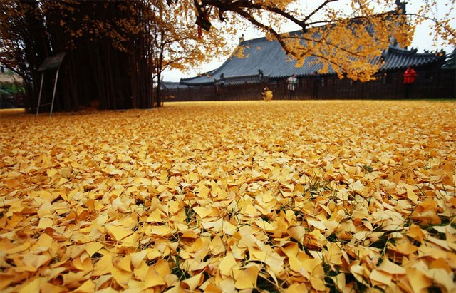 thảm lá vàng ngân hạnh