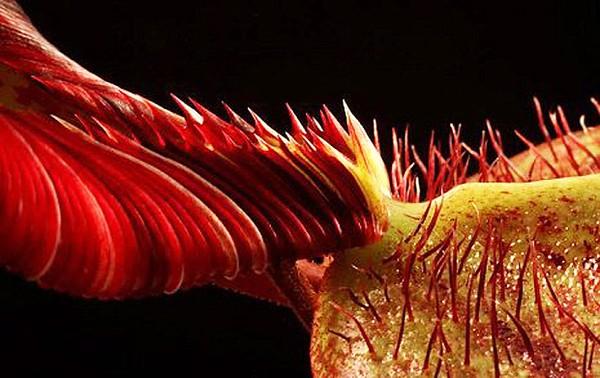 Cây ăn thịt người có hình dạng giống người ngoài hành tinh được đặt tên theo một họa sĩ  siêu thực nổi tiếng