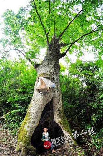 Cận cảnh cây cổ thụ thu hút khách du lịch ở Trùng Khánh, Trung Quốc