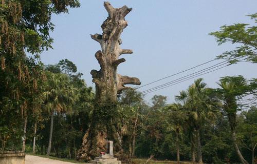 Cây di sản chết khô sau khi được vinh danh do địa phương chăm sóc quá đà