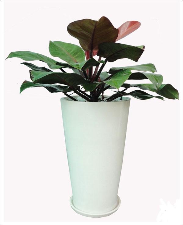 Cây Trầu Bà Đế vương  có ba màu đỏ, vàng xanh  là loại cây cảnh mini có  với tố độ sinh trưởng nhanh, dùng đặt ở nơi bàn làm việc, bàn trà, kệ, cửa sổ, giá khoảng 600.000 đồng/ chậu.
