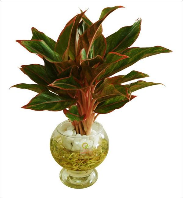 Cây Bao thanh thiên thường được dùng trong chậu nhỏ để trang trí bàn, chậu cây cảnh mini  này mang ý nghĩa sang trọng và quý phái. Giá khoảng  600.000 đồng/ chậu.