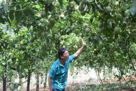 khi thu hoạch xong, thương lái đến tận nhà mua rồi xuất bán sang Trung Quốc