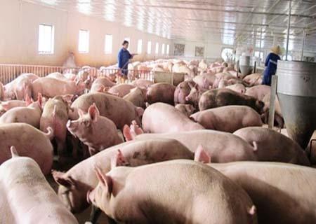 Xuất hiện chiêu mới sử dụng chất cấm trong chăn nuôi