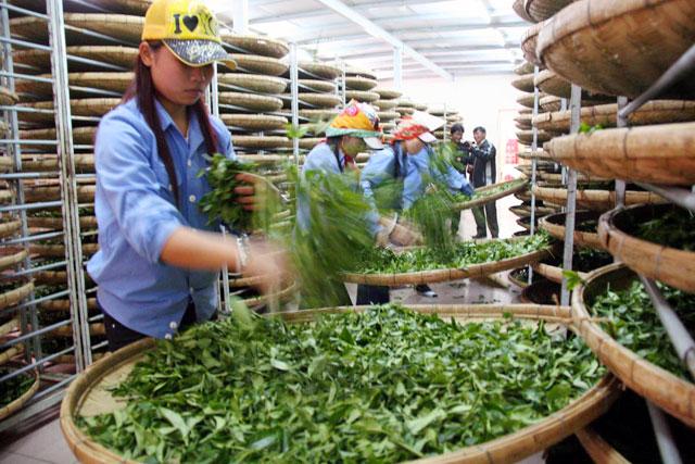 Chè xanh Lâm Đồng áp dụng quy trình chuẩn chất lượng, thu hái và bảo quản hợp an toàn vệ sinh