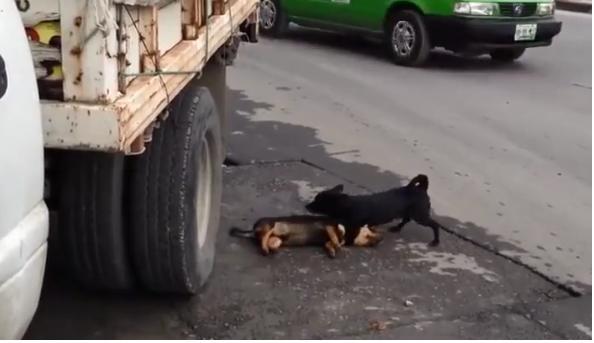 Chó thương bạn bị ô tô đâm chết