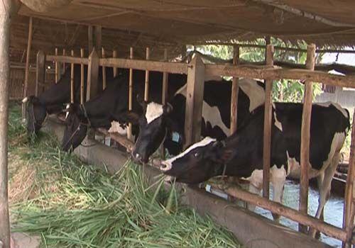 Cải tạo chuồng trại là biện pháp cần thiết để chống nóng cho bò sữa nhằm đảm bảo năng suất