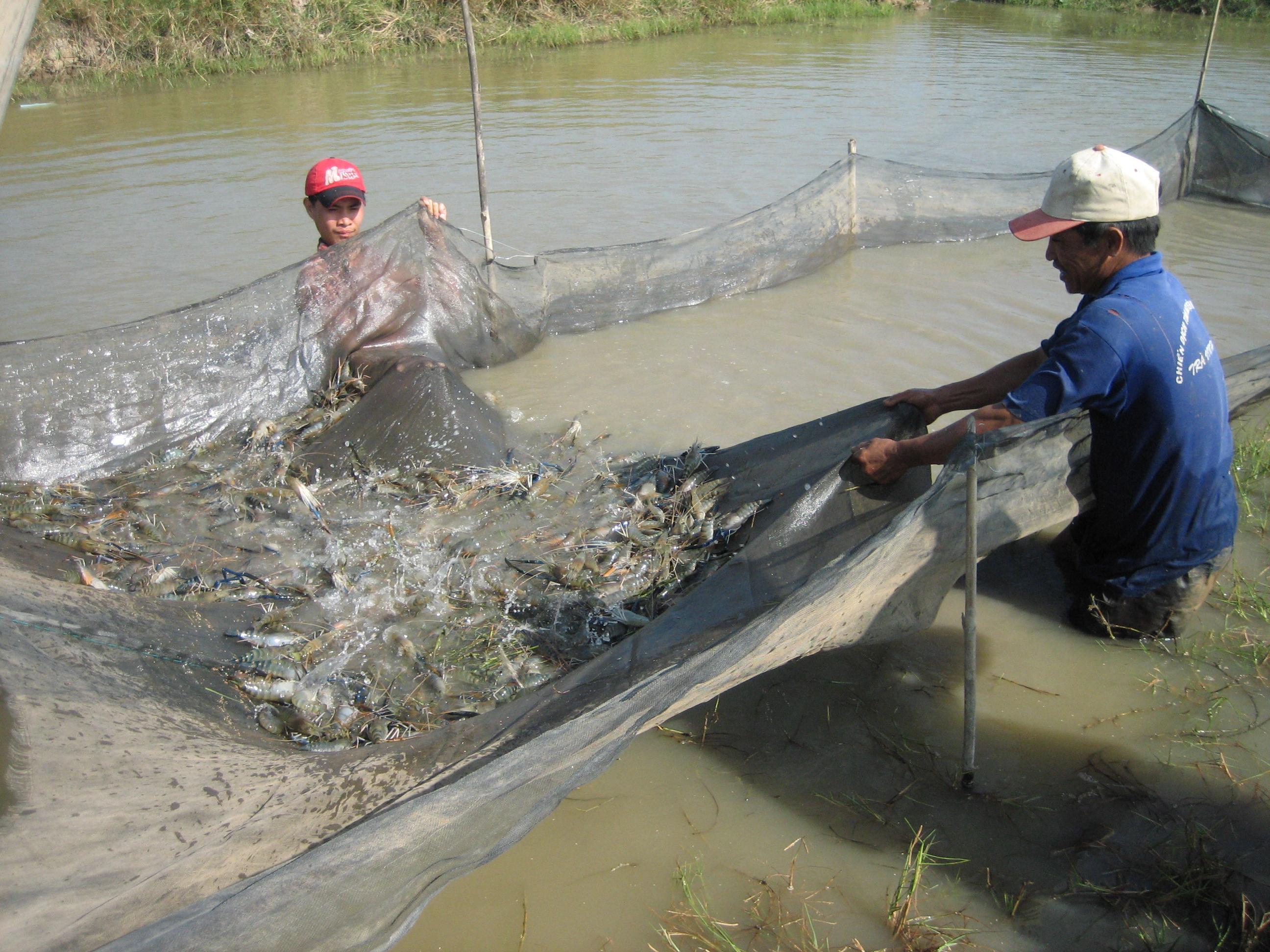 Thực hiện các biện pháp chống nắng nóng sẽ giúp đảm bảo và nâng cao năng suất tôm, cá