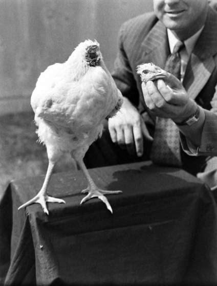 Chú gà và chiếc đầu của mình