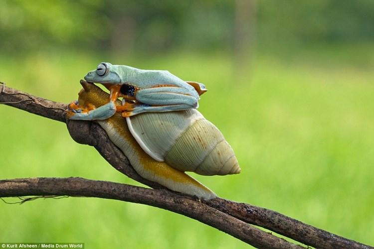 Chú ếch tinh ranh ngồi chễm chệ trên lưng ốc sên