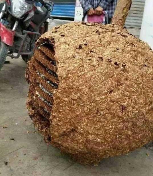 Tổ ong khổng lồ nặng 78kg là câu chuyện lạ có thật ở Trung Quốc
