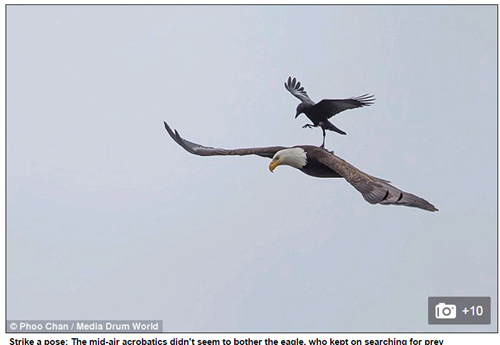 Chuyện lạ có thật, quạ đen liều mạng nghỉ chân trên lưng đại bàng hói đang săn mồi