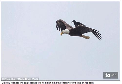 Những bức ảnh ghi lại câu chuyện lạ 'quạ cưỡi đại bàng' thu hút sự chú ý của nhiều người