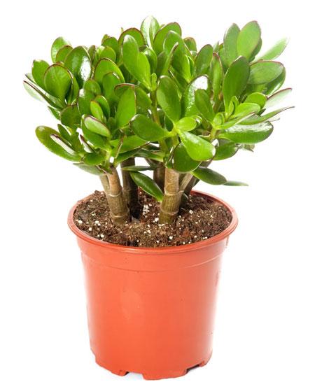 10 loại cây phong thủy mang đến tài lộc cho bạn